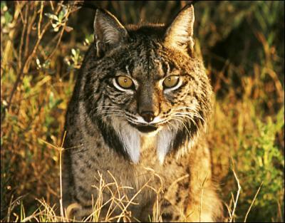 le lynx pard lynx pardelle lynx d 39 espagne lynx ib rique bienvenue dans le monde des f lins. Black Bedroom Furniture Sets. Home Design Ideas