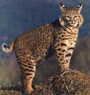 le lynx rouge lynx roux bienvenue dans le monde des f lins. Black Bedroom Furniture Sets. Home Design Ideas