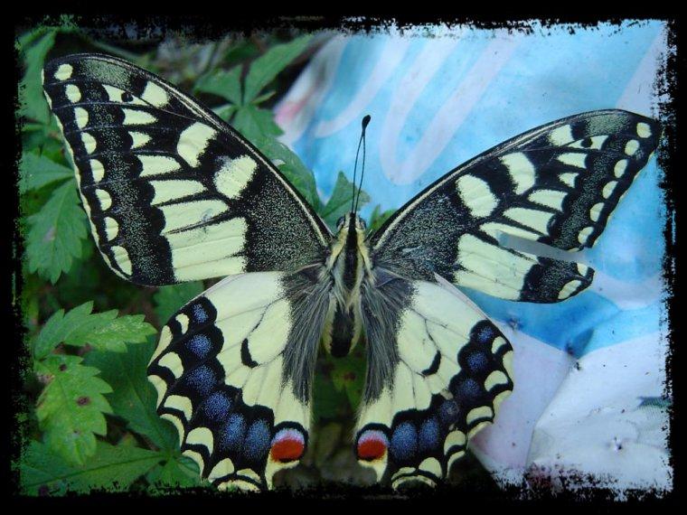 La vie d 39 un papillon blog fluctuant - Duree de vie papillon de nuit ...