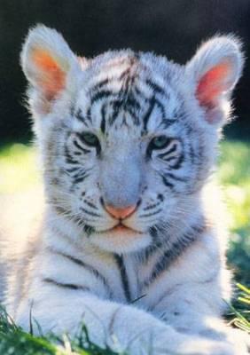 Bébé tigre -...
