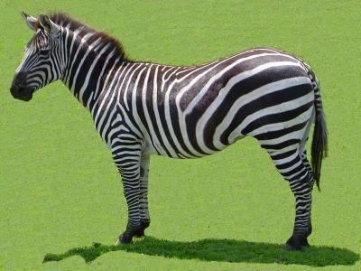 Blog de miss zeber miss fan de zebre - Dessin zebre facile ...